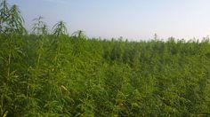 Fargo-based company eyes ND hemp production | INFORUM