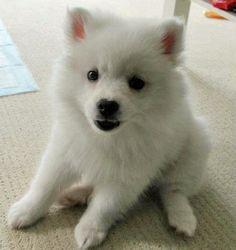 he already looks like trouble of the best kind-Toro the American Eskimo #dogs