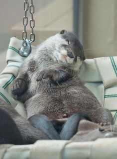 """Otter News on 'Archibald' The Otter: """"Relaxed Hammock Living!""""'Archibald' The Otter: """"Relaxed Hammock Living! Cute Funny Animals, Cute Baby Animals, Animals And Pets, Otters Cute, Baby Otters, Baby Sloth, Otter Love, Tier Fotos, Cute Creatures"""