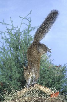 OMG! A squirrel doing a handstand!
