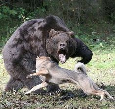 Wolves vs Bear - Wolfpack attacking a Bear Giant - Best Attack wolf Angry Animals, Rare Animals, Animals And Pets, Funny Animals, Wolf Pictures, Animal Pictures, Mundo Animal, Spirit Animal, Animal Photography