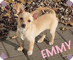 Fort Wayne In Corgi Chihuahua Mix Meet Emmy A Puppy For Adoption Http Www Adoptapet Com Pet 1 Corgi Chihuahua Mix Chihuahua Mix Puppies Corgi