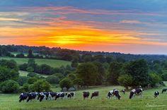 Vaches Normandes, Fontenermont, Calvados, Basse-Normandie, (France)