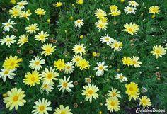 Arbusto herbáceo, pertence à família Asteraceae, nativo das Ilhas Canárias, perene, rizomatoso de 0,80 a 1,20 m de altura. Folhas carnosas, verde-acinzentadas e muito divididas. Inflorescências muito numerosas dispostas em toda periferia da planta, formadas por inumeras flores pequenas em capitulos brancos com o centro amarelo, dotadas de hastes longas, eretas e firmes, formadas quase ...