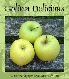 Ihr Obstbaum-Shop! Alte Obstsorten - Alte Apfelsorten - www.alte-obstsorten-online.de - Apfelbaum, Winterapfel 'Golden Delicious' - alte Apfelsorten!