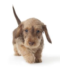Dachshund miniature wire-haired dog breed information | Noah's Dogs