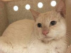 4 YEARS OLD, OWNER SURRENDER - ALOPECIA ON HEAD - NEEDS RESCUE ASAP
