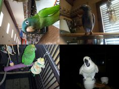 My baby is the gray my brothers is the blue crowed my moms is the cocktoo my dads is the amazon l9ve them all though