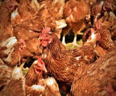 Here are 10 surprising facts about chickens that will make you think twice (or 10 times) before eating another nugget. Chickens Backyard, Peta, Facts, Gardens, Colors, Flu, Rose Trees, Agriculture, Fresh Egg