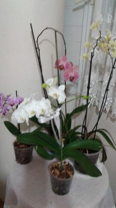 Orkide Bakımı, Çoğaltımı, Saksı Değişimi, Kurtarma, Çiçek Açtırması Nasıl Yapılır ? Canım Anne. com dan herkese merhabalar, Bu videomuz da orkide bakımına dair her şeyi en ince ayrıntısında kadar sizlerle anlatmaya çalıştık, umarız beğenirsiniz.Orkide ile ilgili aşağıdaki konuların tümünü bu videoda paylaştık.  Orkide Nasıl Bir Çiçektir? Orkide Alırken Nelere Dikkat Edilmelidir? Orkide Bakımı Nasıl Yapılır? Orkide Nasıl Bir Ortam İster? Orkide Nasıl Toprak İster? Orkide Saksı Değişimi Ne… Glass Vase, Plants, Home Decor, Decoration Home, Room Decor, Plant, Interior Design, Home Interiors, Planting