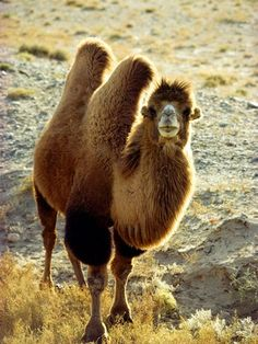 Bactrian Camel. Bactrian camels have shaggy fur and two humps to help them cope with the temperature extremes of the Gobi desert and surrounding grasslands.