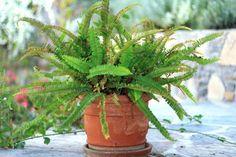 Evin havasını temizleyen bitkiler - Canım Anne Aloe Vera, Jade Plant Care, Types Of Ferns, Types Of Houseplants, Lucky Bamboo Plants, Boston Ferns, Pothos Plant, Crassula Ovata, Smart Garden