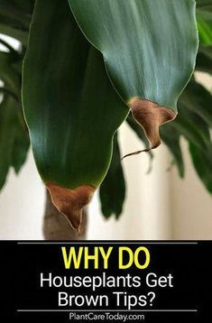 Ever wondered WHY houseplants get brown tips? Does it come from the plant moving inside, stress from reduced lighting, the plant acclimating, fertilizing or watering? [LEARN MORE] house plants Brown Tips on Houseplants Leaves - A Reason Why! Outdoor Plants, Garden Plants, House Plants Decor, Water Plants Indoor, Shade Garden, Easy House Plants, Plant Decor, Potted Plants, Garden Soil