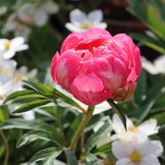 Die Pfingstrosen-Zeit ist angebrochen (Bild: 'Pink Hawaiian Coral') News, Flowers, Plants, Pink, Instagram, Pentecost, Pictures, Plant, Royal Icing Flowers