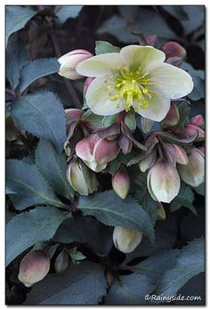 Helleborus x ericsmithii 'Coseh860' As I sit here writing my notes in early January, a group of tantalizing Helleborus Monte Cristo™ plants are blooming outside my window.
