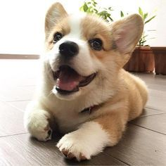 This cute corgi puppy will make you happy. Dogs are amazing creatures. Cute Corgi Puppy, Welsh Corgi Puppies, Pembroke Welsh Corgi, Cute Dogs And Puppies, Baby Dogs, Funny Puppies, Teacup Puppies, Lab Puppies, Husky Puppy