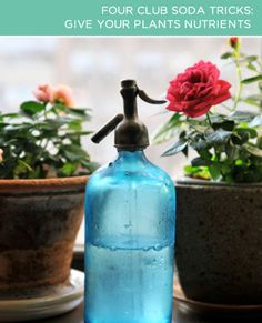 """""""If you're not exactly a plant whisperer, club soda will change your life! Give it to your plants to quench their thirst. The nutrients in club soda (sodium citrate and potassium sulfate) will help enrich the soil. Like steroids for your plants - but without the chemicals."""""""