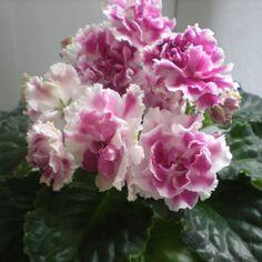 РС-Ледяная Роза Пример цветения временно на фото из Интернета http://two-worlds.ru/fialka-sort-ledyana-roza/