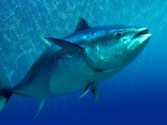 tuna fish - Google Search