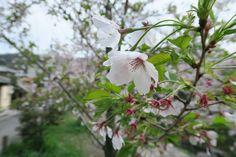 Philosopher's Walk in Kyoto, Japan Cherry Blossom Season