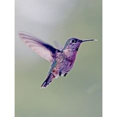 HUMMING BIRDS ❤ liked on Polyvore featuring animals