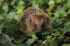 Protecting hedgehogs on bonfire night - Country Living Magazine UK http://www.countryliving.co.uk/news/protecting-hedgehogs-bonfire-night