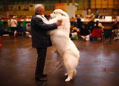 The Great Pyrenees. We have four of these awesome big fluffy white doggies. They range from 105lbs to 170lbs.  Celebrating dogs at Crufts Dog Show 2015