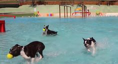 An Aqua Park that is specially opened for dogs! :) Check out these Boston Terriers having some fun in the water! ► http://www.bterrier.com/?p=29047 - https://www.facebook.com/bterrierdogs