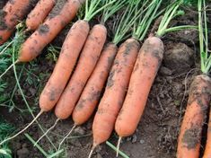 Marion Carrot seeds produce very tender Nantes type carrots with superb flavour and are suitable for all year growing. Carrot Seeds, Korn, Carrots, Ale, Fruit, Vegetables, Ethnic Recipes, Garden, Flowers