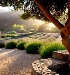 Centsational Girl » Blog Archive Growing and Caring for Lavender » Centsational Girl