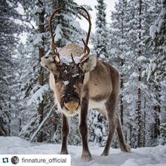 #Repost @finnature_official  Ok. Yes there were a reindeer also infront of the photographer.  Picture from same situation than yesterday's photo but from different point of view.  Have a nice weekend every one!  Photo taken in Iso-Syöte Finland by @jari_peltomaki  #photography #reindeer #animalphotography #visitfinland #visitoulu #isosyote #finnature_official #finland by jari_peltomaki