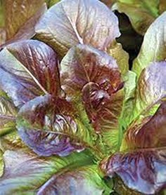 Red Romaine Lettuce Seed Heirloom Organic Non Gmo 100 Seeds Garden Seed * You can get additional details at the image link.