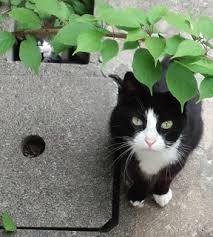 「ハチワレ 猫 里親」の画像検索結果