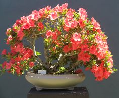 Azalea in Japanese grey unglazed pot
