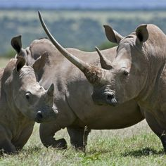Africa | A Family of White Rhinos, the Female with a Massive Horn; Mweiga, Solio, Kenya | © Nigel Pavitt