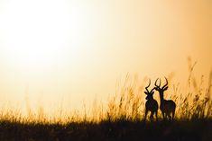 Ingo Gerlach: Imapalaböcke bei Sonnenaufgang #wandbild #homedecor #einrichtung #walldecor #wallpicture #poster #africa #africanprint #africanart Ingo, Africa, Poster, Animals, Animal Themes, Sunrise, Animal Photography, African, Pet Pictures