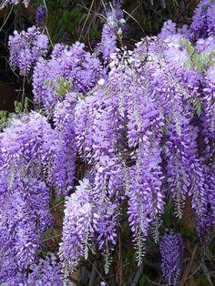 Chinese Wisteria ~ love purple!