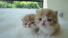 Red and White Short Hair Exotic Kittens by Belcherpurrs.com