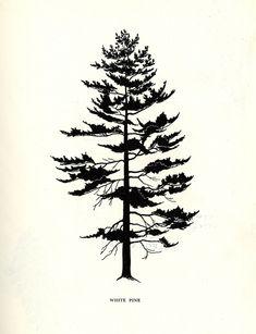 White Pine    http://thruhiker.tumblr.com/