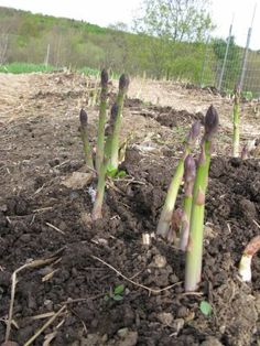 Growing Asparagus in a raised bed