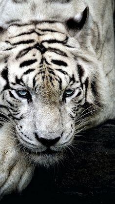 tiger_albino_lie_muzzle_85987_640x1136   Flickr - Photo Sharing!