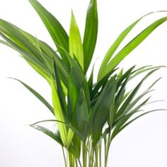 An areca palm plant.: Non-Toxic to pets and purifies air