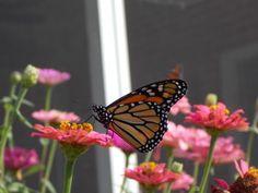 Monarch Butterfly (Danaus plexippus)   Drawings of Urban Wildlife ... Queen Butterfly Vs Monarch