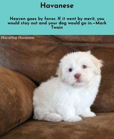 """You can always find hope in a dog's eyes."" #havanese #havanesepuppy"