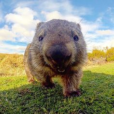 Happy Friday from this very happy wombat! Photo by who spotted this little guy at Wilsons Promontory National Park in Australia. Perth, Brisbane, Melbourne, Sydney, Happy Animals, Animals For Kids, Animals And Pets, Cute Animals, What Is A Wombat
