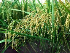 Junto con los socios en Nanjing, China, el equipo del Dr. Miller ha estado trabajando cómo las plantas de arroz pueden mantener el pH bajo estos entornos cambiantes. En colaboración con investigadores de la Universidad Agrícola de Nanjing, el Dr. Ton