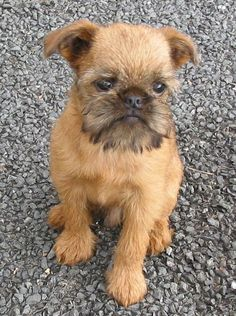 "Brussels Griffon ~ reminds me of ""As Good As It Gets"" and King Louie as a pup Cute Puppies, Cute Dogs, Dogs And Puppies, Doggies, Cavapoo Puppies, Griffon Dog, Brussels Griffon, Dog Rules, Mans Best Friend"