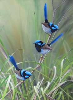 The Wildlife Art of Rodger Scott - Superb Blue Fairy Wrens