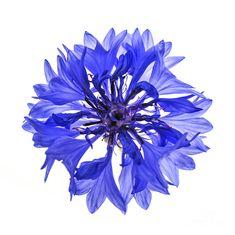 Blue Cornflower Flower Photograph