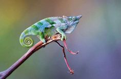 Dwarf chameleon - Panoramic Images/Getty Images